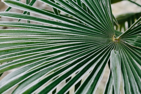 cold, frosty, green leaves, leaf, nature, flora, tropical, palm, tree, outdoors