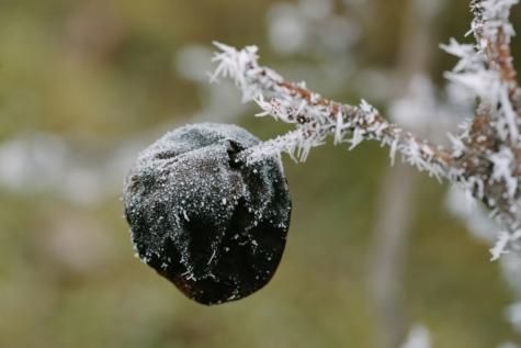 скреж, дърво, зимни, сняг, природата, замразени, на открито, клон, студено, едър план