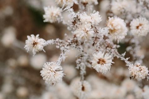 hagtorn, naturen, Anläggningen, blomma, vinter, frost, spring, buske, träd, gren