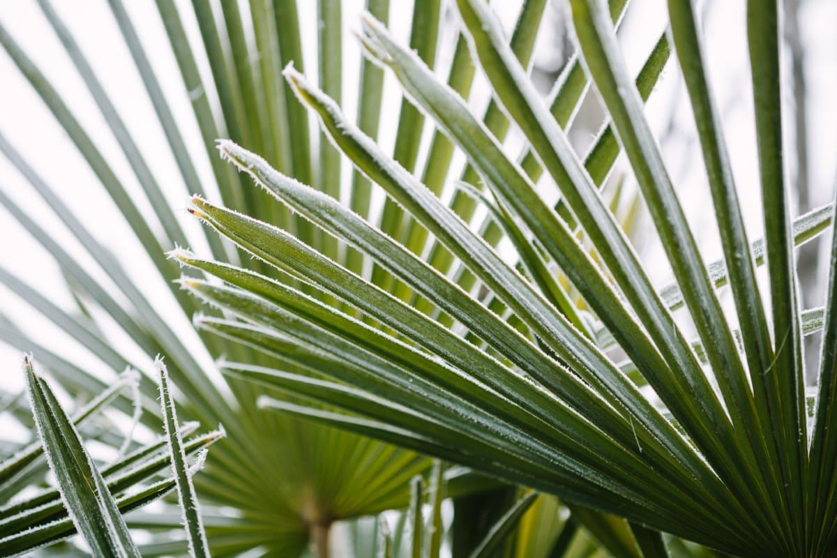 frost, leaves, palm, plant, gymnosperm, grass, leaf, summer, garden, environment