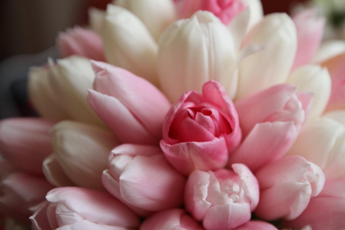 bukett, kronblad, rosa, tulipaner, hvit blomst, blomst, kronblad, tulipan, blomstre, anlegget