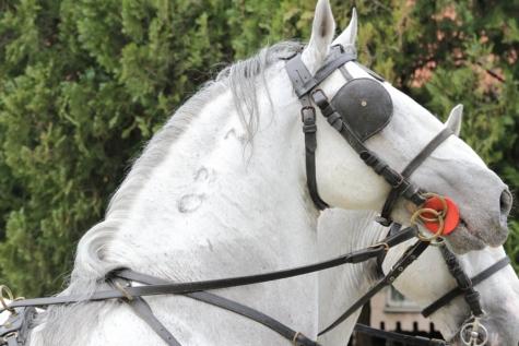 ovratnik, glava, konj, portret, sa strane, bijeli, konjski, pastuh, jahanje, životinja