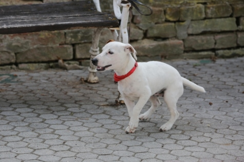 adorable, bench, collar, dog, pavement, white, leash, pet, retriever, puppy