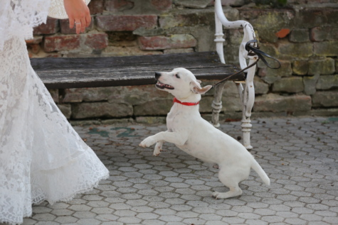 bride, dog, happiness, jump, wedding dress, pet, leash, canine, cute, portrait