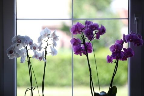 indoor, orchid, purple, shadow, white flower, window, flora, flower, herb, plant