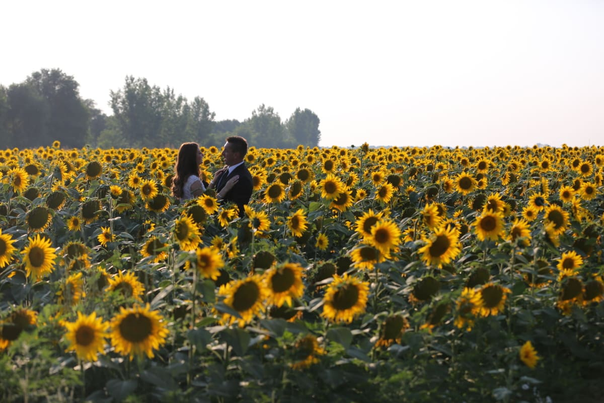 agriculture, bride, field, groom, love, people, summer season, sunflower, plant, yellow