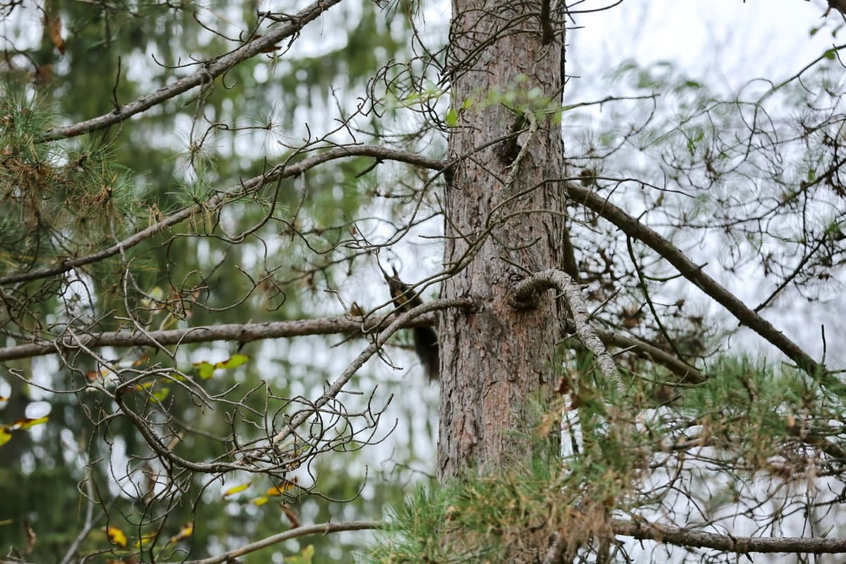 branches, conifers, forest, natural habitat, squirrel, wildlife, wood, tree, nature, branch