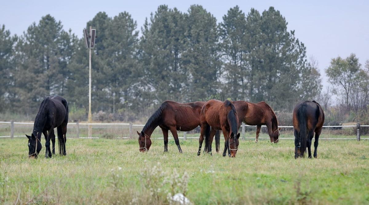 animals, grassland, light brown, meadow, rural, ranch, horses, farm, grass, grazing