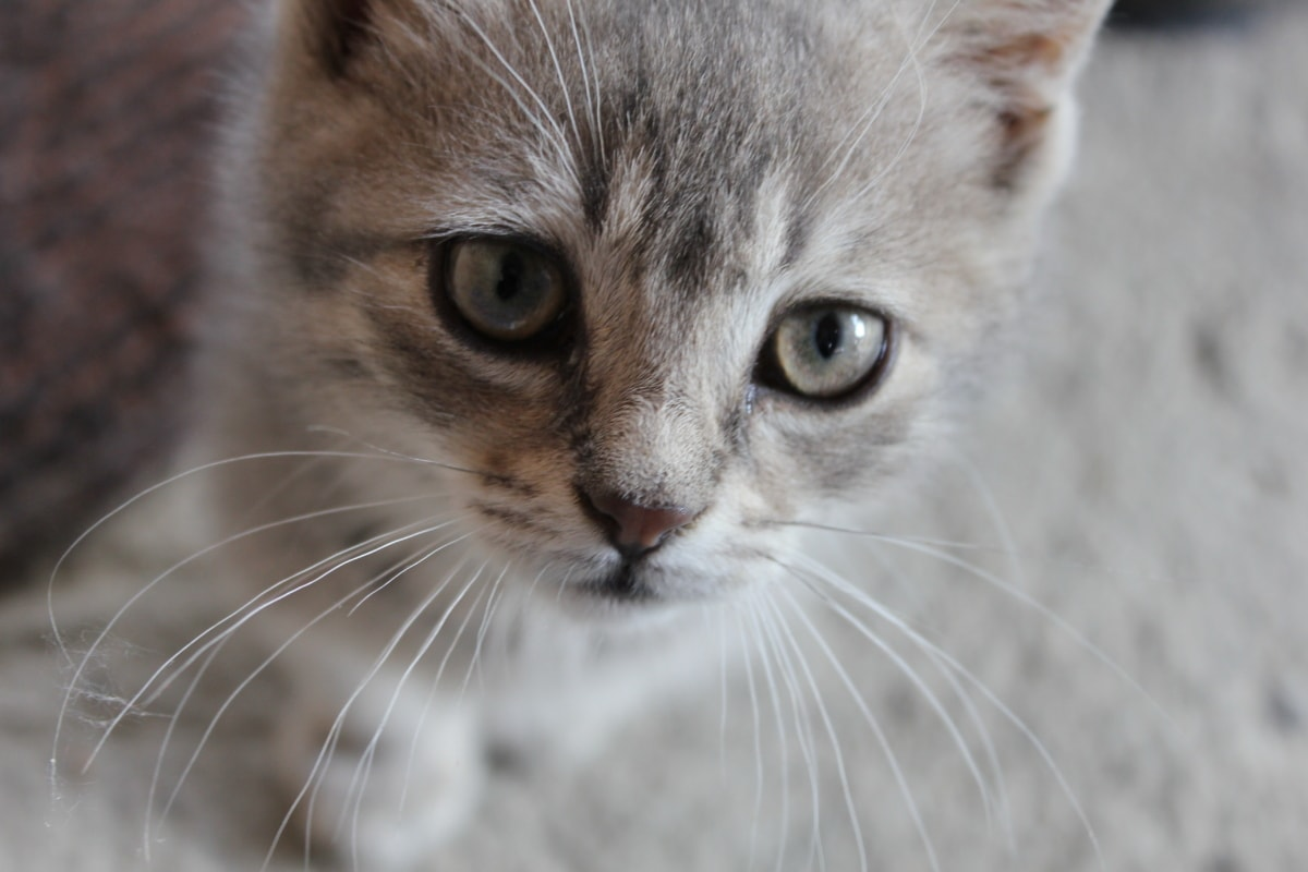 domestic cat, grey, whiskers, adorable, close-up, eyes, nose, eyelashes, kitten, curious