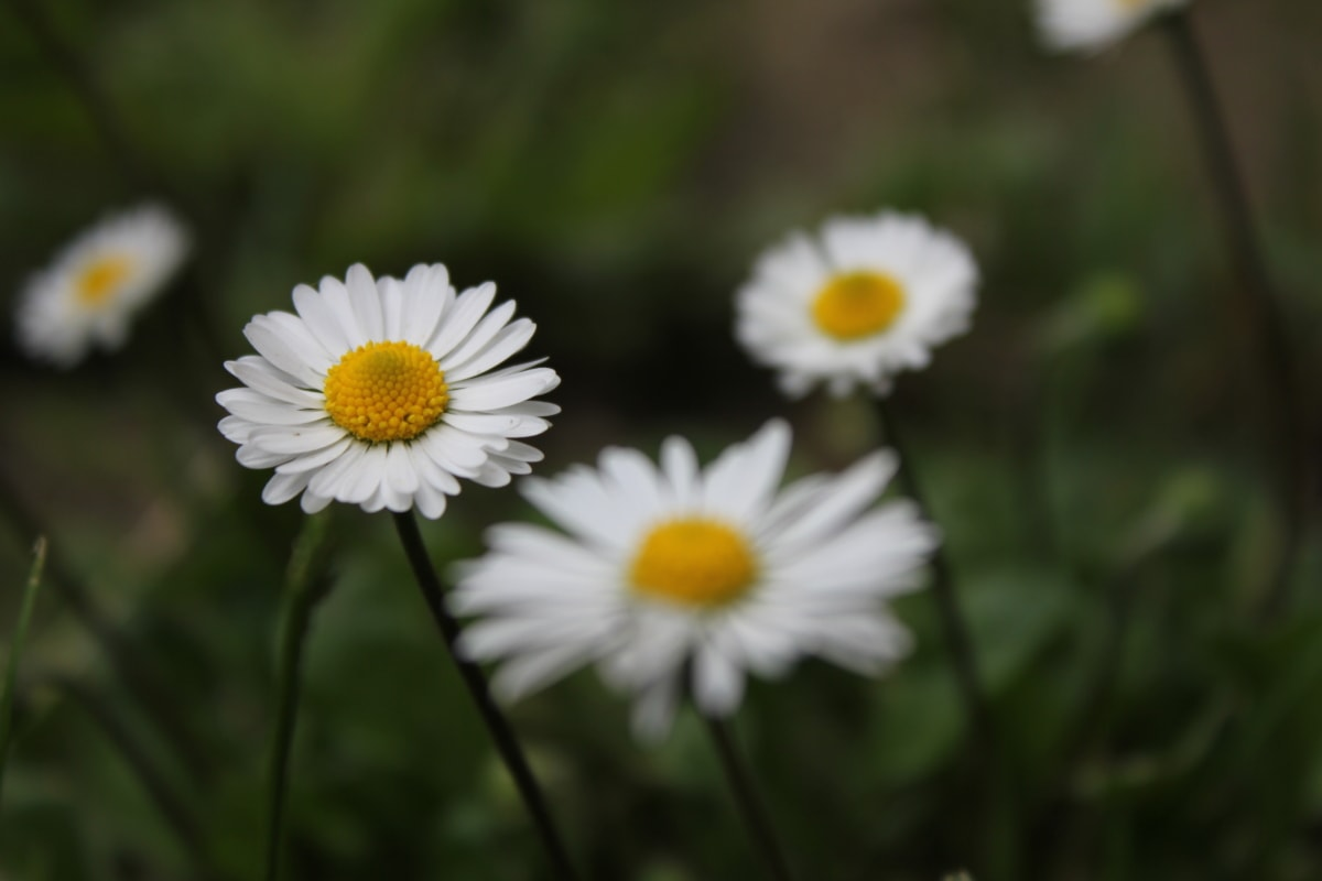 white flower, daisies, close-up, grassland, daisy, spring time, grass plants, meadow, herb, plant