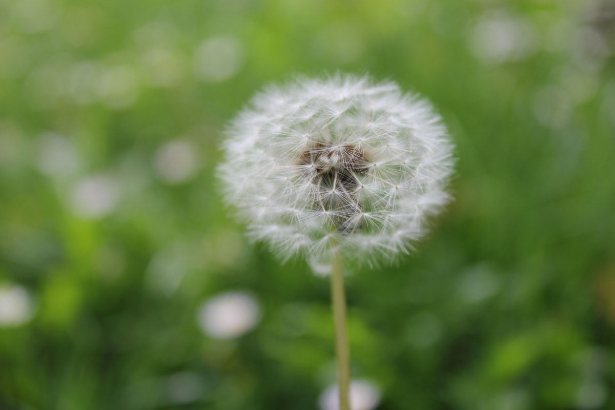 dandelion, close-up, plant, summer, nature, flower, herb, grass, flora, outdoors