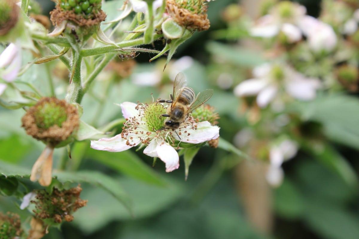bee, insect, pollination, honeybee, spring, plant, flowers, herb, garden, flower