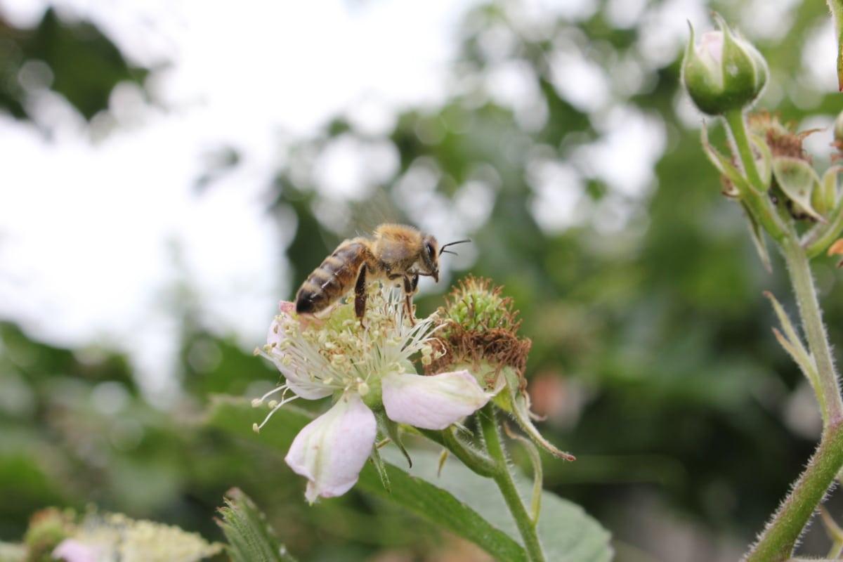 flying, pollination, honeybee, pollinator, flowers, roses, flower garden, arthropod, plant, insect