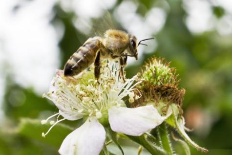 voando, abelha melífera, polinização, asas, perto, flor, inseto, erva, planta, primavera