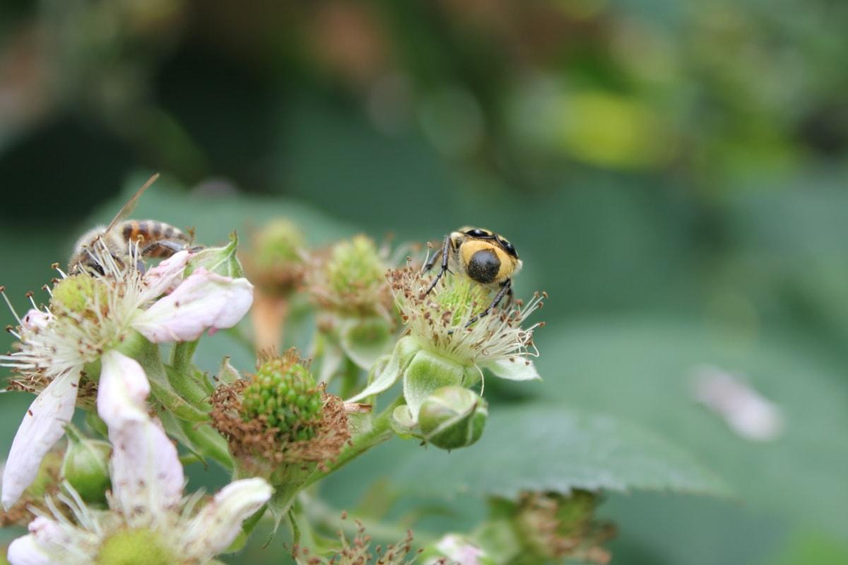 beetle, insect, honeybee, pollinating, invertebrate, flower, nature, bee, arthropod, plant