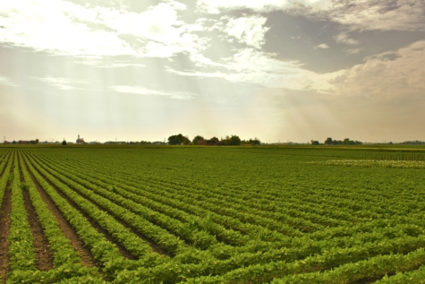 soybean, field, agriculture, grass, farm, soy, landscape, rural, soil, nature