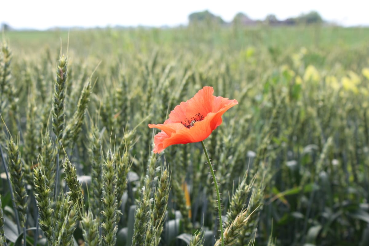 red, opium poppy, flower, wheatfield, agriculture, summer, plant, poppy, field, blossom