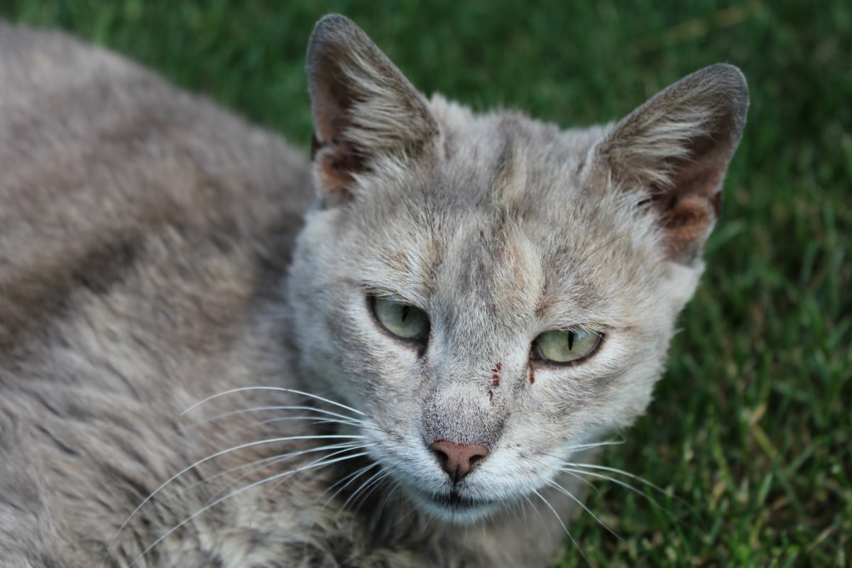 grey, domestic cat, nose, mouth, whiskers, close-up, eyes, kitty, pet, kitten