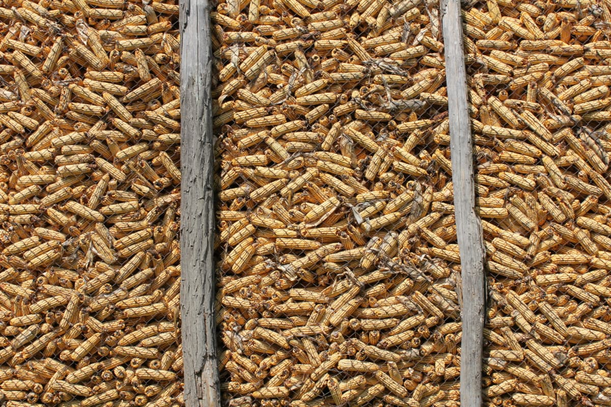 corn, barn, dry, upclose, pile, nutrition, many, batch, pattern, seed