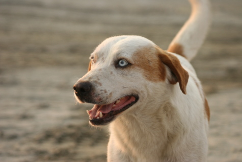 hunting dog, cheerful, head, happy, beach, dog, animal, canine, retriever, pet