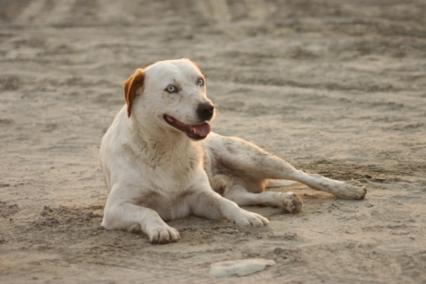 sand, relaxation, beach, dog, animal, hunting dog, pet, retriever, cute, canine