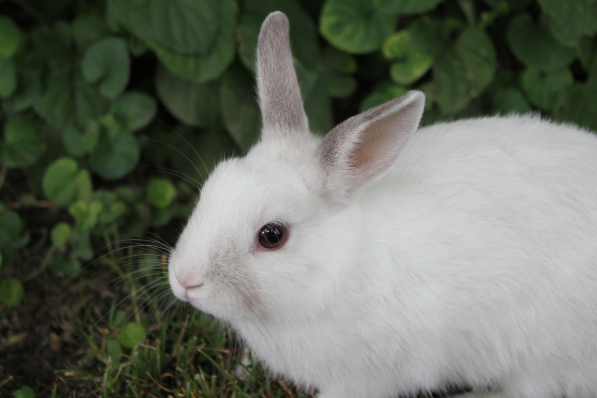white, bunny, pet, rodent, rabbit, animal, cute, furry, fur, domestic