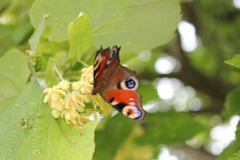 kupu-kupu, kupu-kupu bunga, sayap, makro, tanaman kupu-kupu, warna-warni, Taman bunga, daun hijau, serangga, musim semi waktu