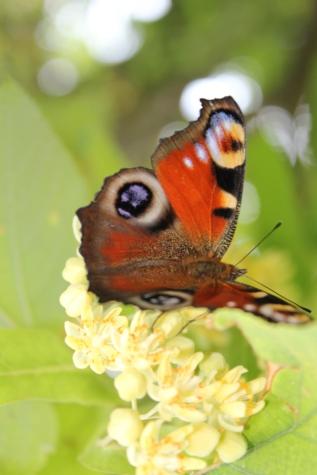 kupu-kupu bunga, kupu-kupu, warna-warni, sayap, bunga, musim panas, alam, Taman, tanaman, serangga