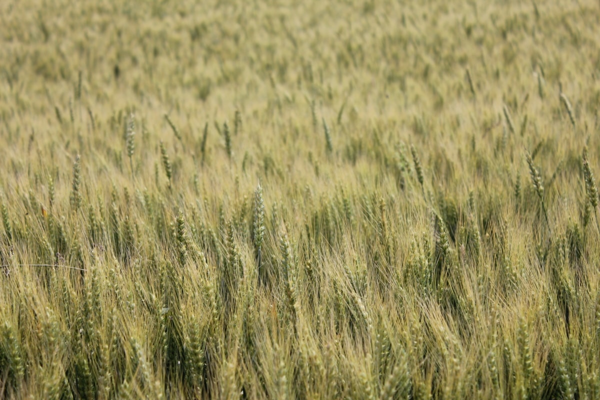 wheatfield, summer time, field, agriculture, rye, harvest, wheat, summer, grain, rural