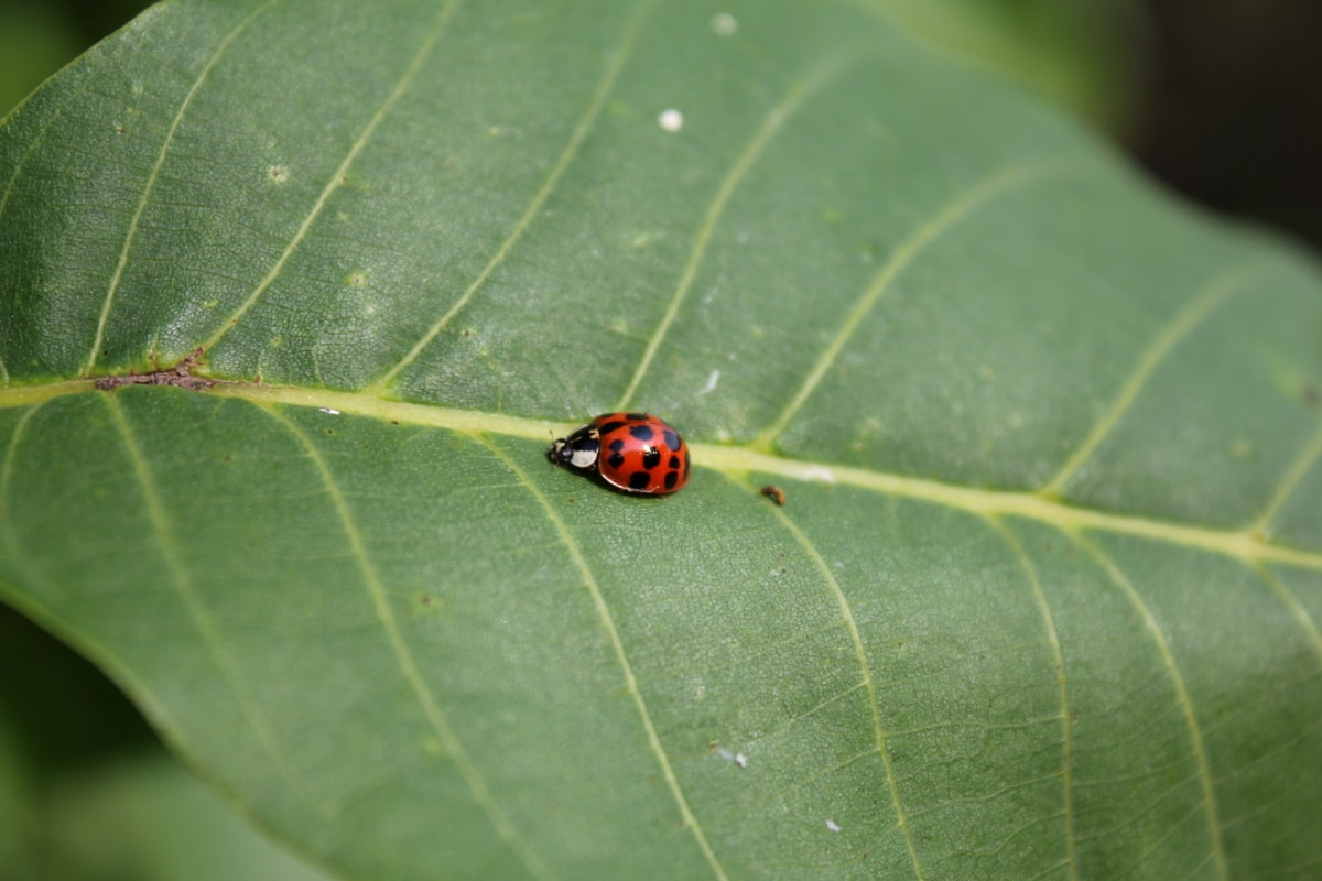 ladybug, beetle, side view, green leaves, insect, arthropod, garden, plant, leaf, bug