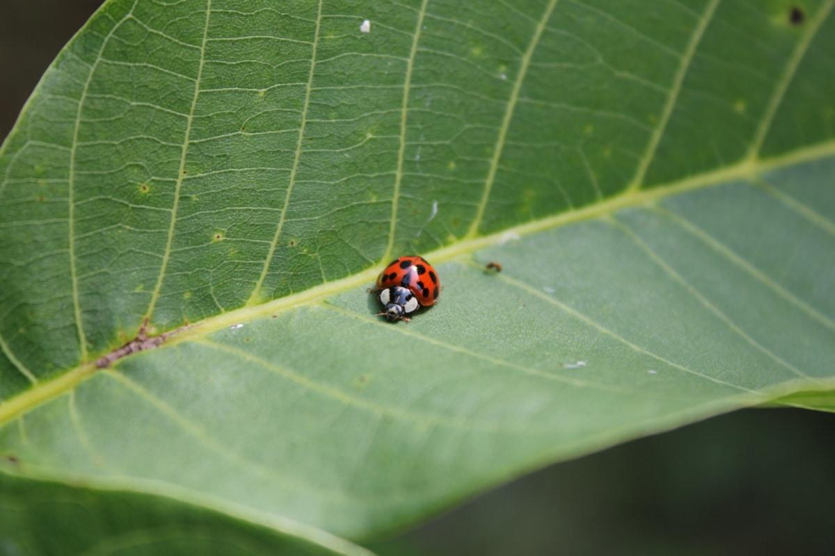 Beruška, brouk, zelený list, hmyz, závod, příroda, zahrada, Flora, chyba, členovec