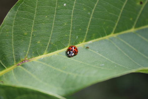 ladybug, beetle, green leaf, insect, plant, nature, garden, flora, bug, arthropod