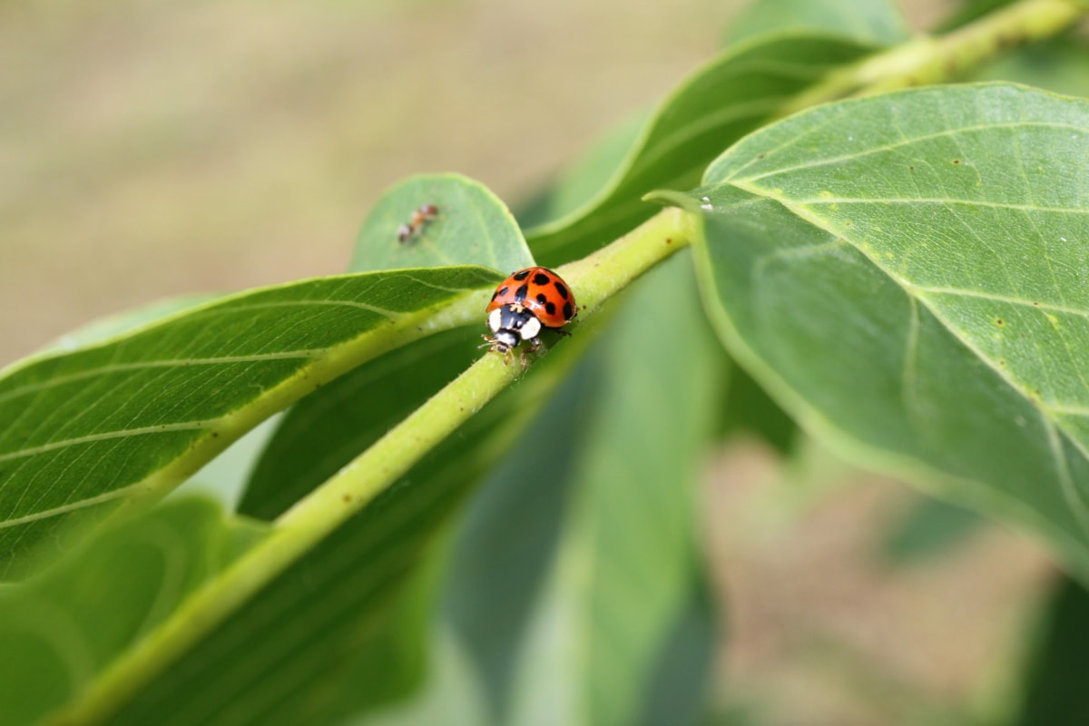 ladybug, green leaves, branches, insect, beetle, spring, leaf, grass, plant, arthropod