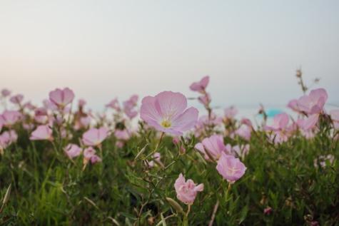 des roses, fleurs sauvages, Rose, nature, printemps, jardin, plante, fleur, fleurs, fleur