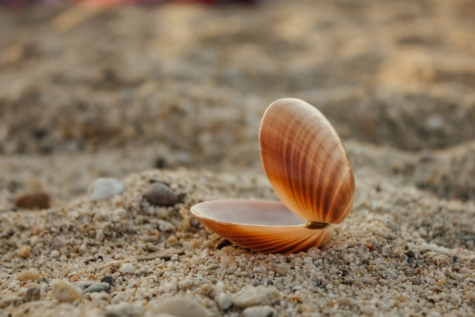 mollusk, sand, pebbles, shell, invertebrate, gastropod, nature, beach, seashell, seashore