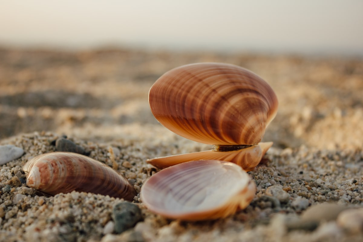 shell, close-up, beach, seashell, pebbles, sand, ground, invertebrate, animal, brown
