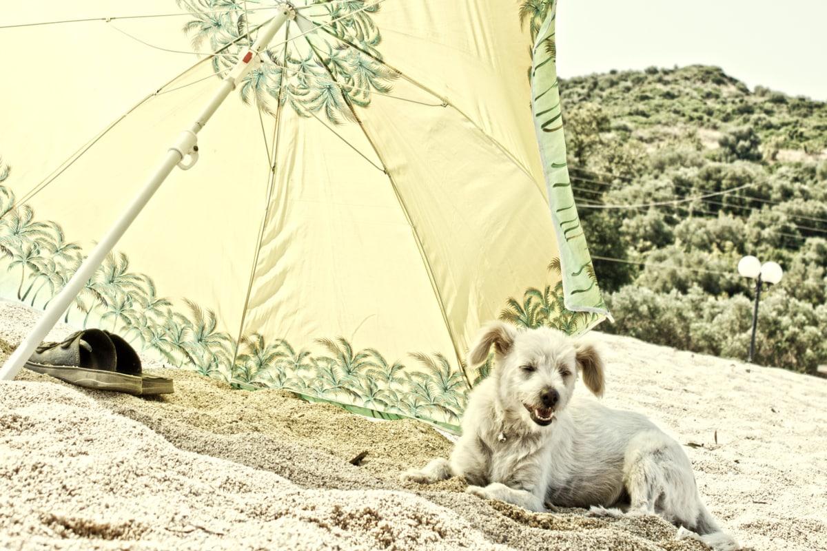 dog, parasol, summer, sand, beach, canine, pet, nature, outdoors, grass