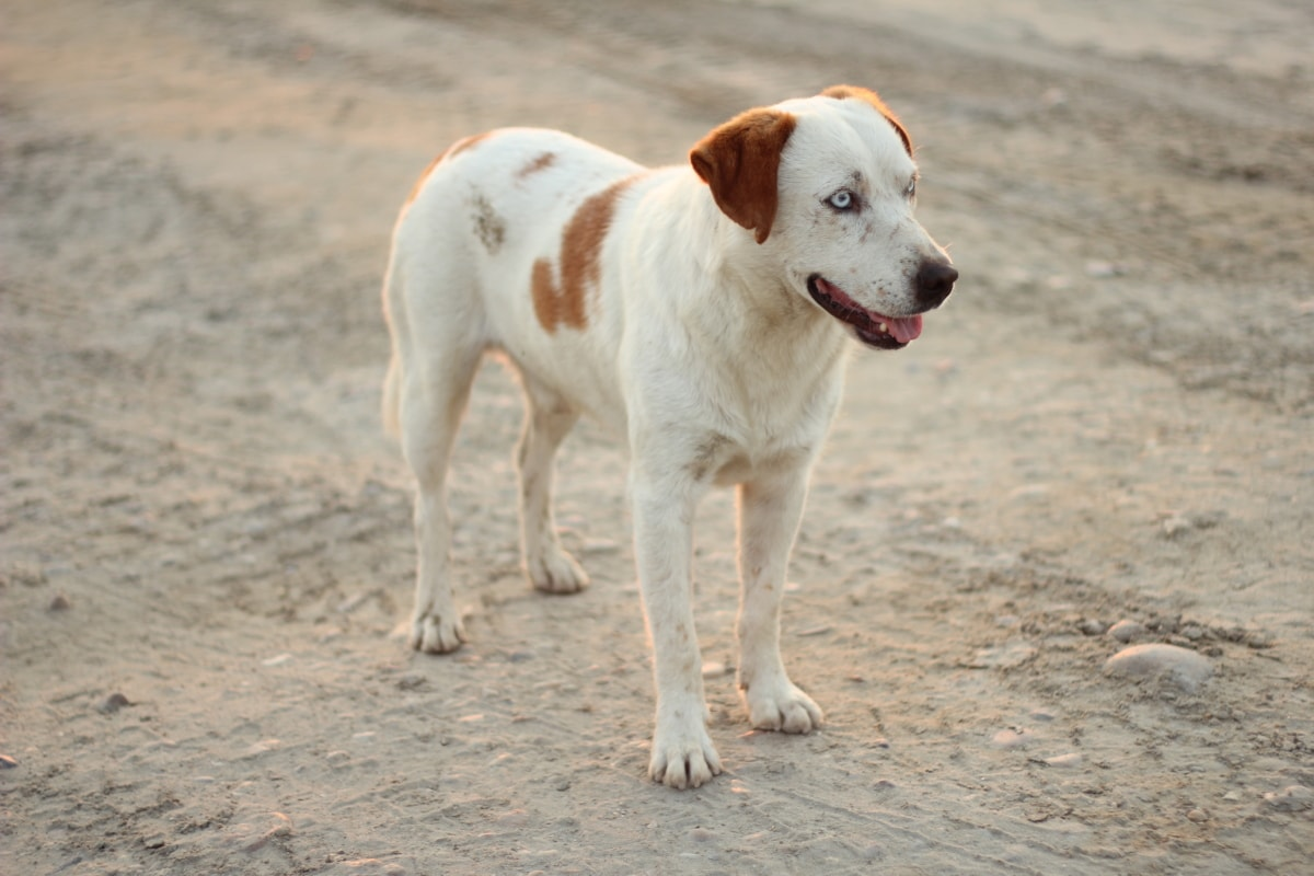 white, light brown, pet, dog, pedigree, sunny, road, hunting dog, animal, canine