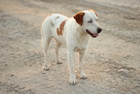 white, light brown, pet, dog, pedigree, sunny, road, hunting dog, animal, canine