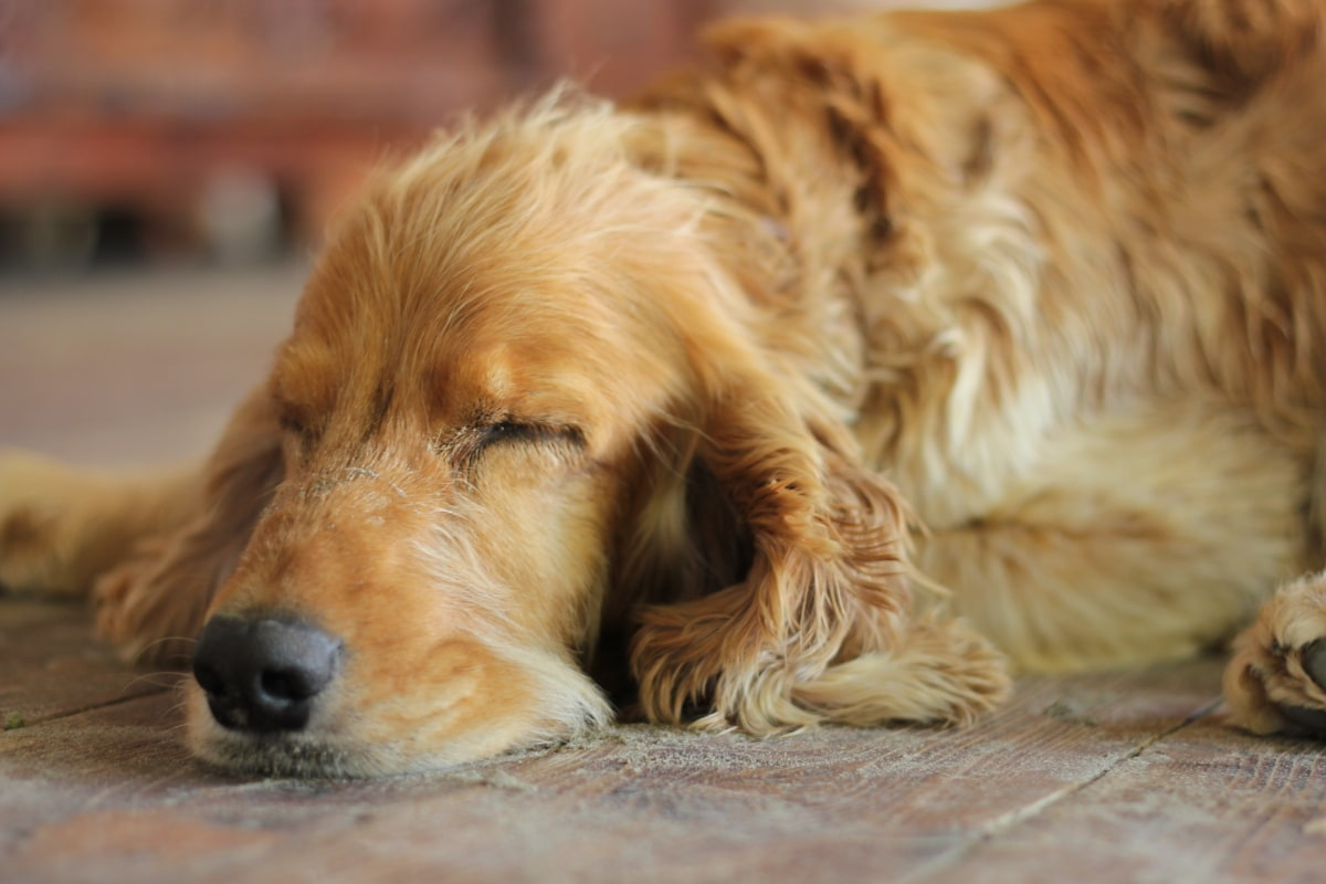 cocker spaniel, sleep, dream, sleeping, dog, fur, pet, puppy, canine, cute