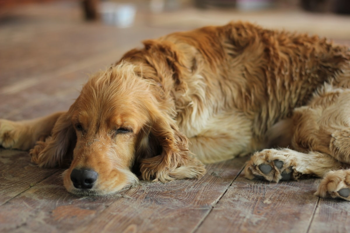 cocker spaniel, purebred, sleeping, light brown, dog, pet, puppy, retriever, friend, canine