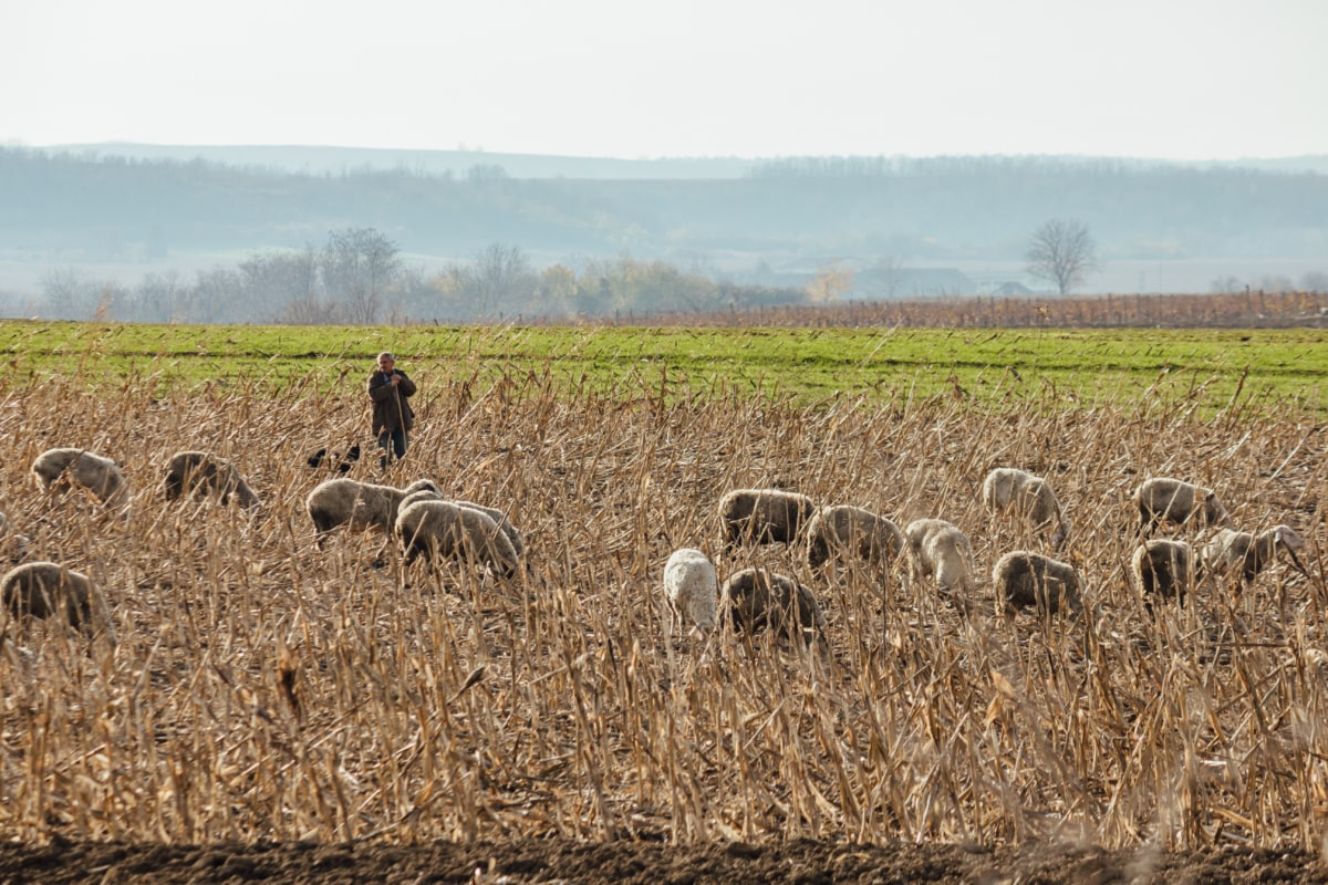 pasture, sheep, grazing, animals, rural, straw, wheat, feed, landscape, field