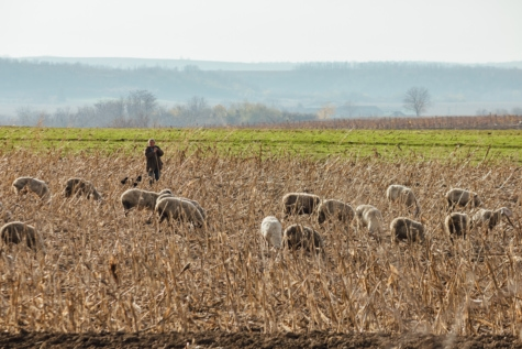 đồng cỏ, con cừu, chăn thả, động vật, nông thôn, rơm, lúa mì, nguồn cấp dữ liệu, cảnh quan, lĩnh vực