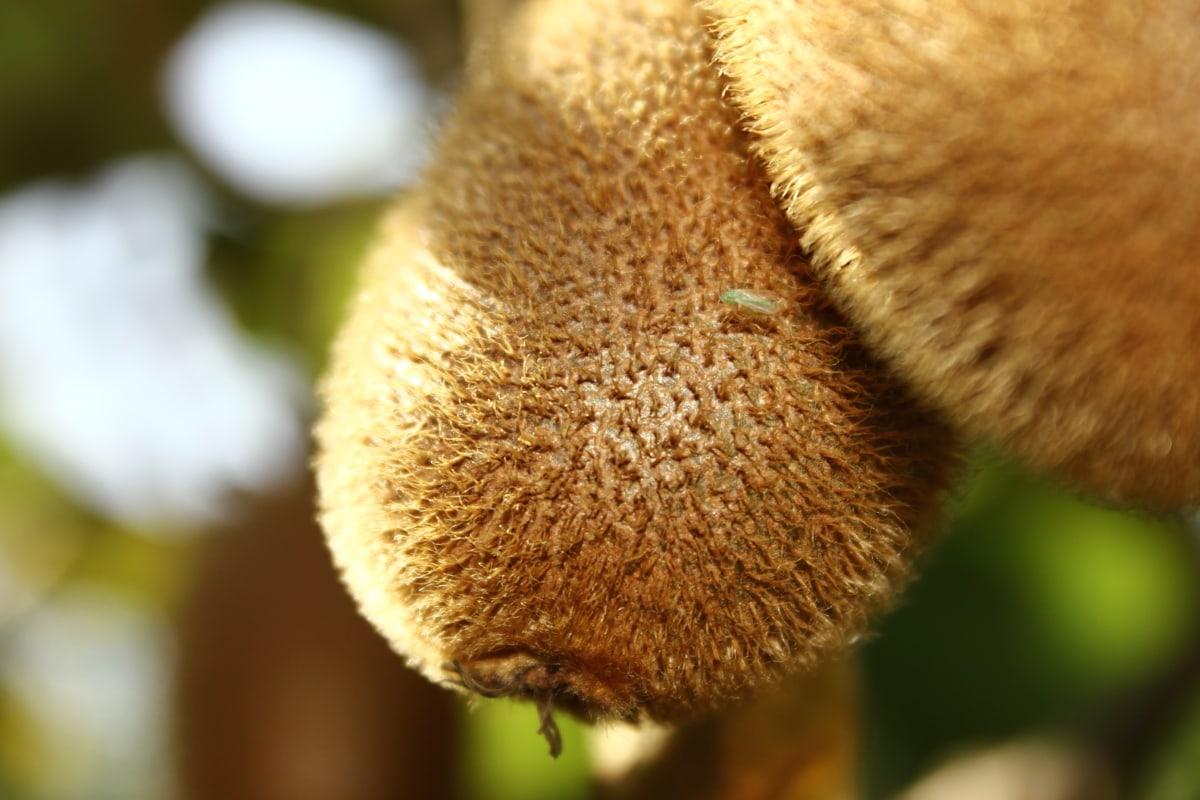 kiwi, close-up, orchard, organic, nature, blur, wood, tree, outdoors, hairy
