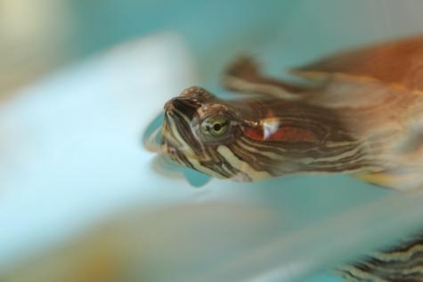 turtle, close-up, head, aquarium, reptile, eye, pet, wildlife, water, aquatic