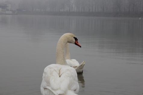 Schwan, Nebel, Wassertropfen, Vögel, See, Tierwelt, Schnabel, Vogel, aquatische Vogel, Wasservögel