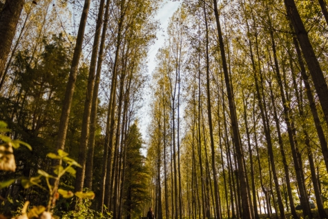 perspective, trees, forest path, high, tree, birch, nature, wood, forest, leaf