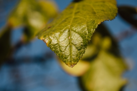 green leaves, details, macro, focus, leaf, plant, nature, outdoors, blur, flora