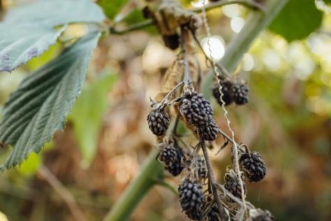 Ежевика, фрукты, фруктовый сад, органические, природа, дерево, ягода, лист, на открытом воздухе, лето