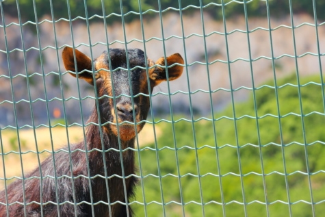 fence, zoo, goat, nature, grass, cage, cute, animal, fur, outdoors